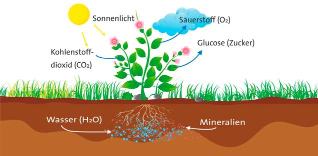 Pflanzen Photosynthese